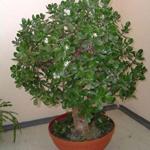 Денежное дерево – талисман удачи и богатства